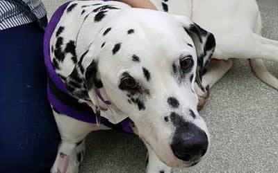 Taylor the handsome dalmatian from Shetland