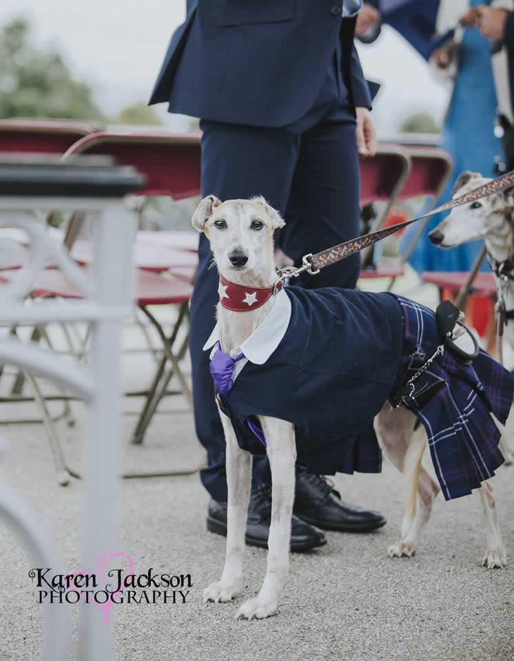 greyhound Gimli in scottish attire