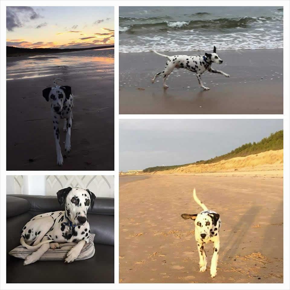 dalmatian Murphy on beach