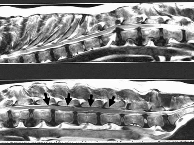 x-rays of dog spine vet extra scotland